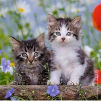 "Ravensburger (08046) - ""Kittens"" - 49 pieces puzzle"